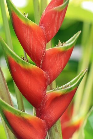 heliconia,Gran Canaria,Spain Stock Photo - 17648769
