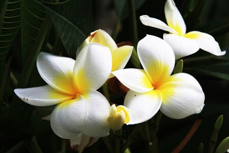 asterids: plumeria alba,Gran Canaria,Spain Stock Photo