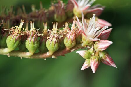 spermatophytina: aeonium percarneum,Gran Canaria,Spain