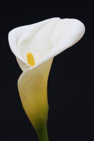 tracheophyta: calla zantedeschia aethiopica,Gran Canaria,Spain