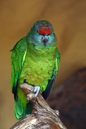 festiva: festive amazon,Gran Canaria,Spain Stock Photo