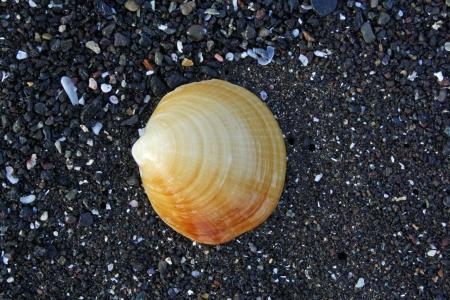 mussle: beach near Las Palmas,Gran Canaria,Spain
