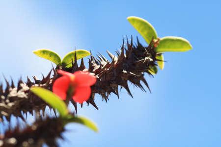 core eudicots: christ plant,Gran Canaria,Spain Stock Photo