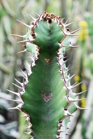tracheophyta: euphorbia cactus,Gran Canaria,Spain