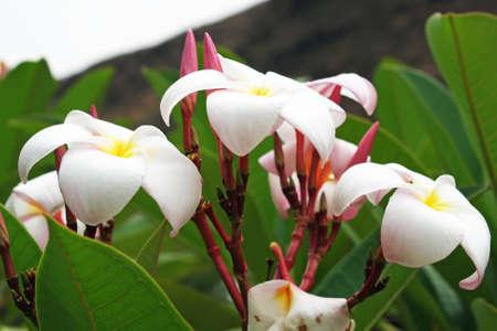 tracheophyta: plumeria alba,Gran Canaria,Spain Stock Photo