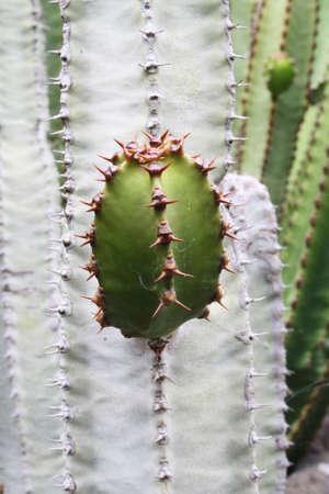 core eudicots: euphorbia canariensis,Gran Canaria,Spain