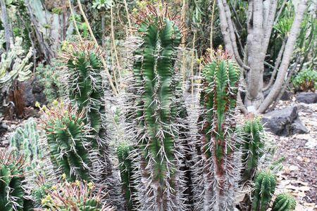 core eudicots: euphorbia horrida,Gran Canaria,Spain Stock Photo