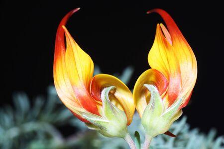 lotus maculatus,Gran Canaria,Spain