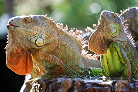 green iguana,Gran Canaria,Spain Stock Photo - 18405443