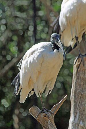 ciconiiformes: african sacred ibis,Gran Canaria,Spain Stock Photo