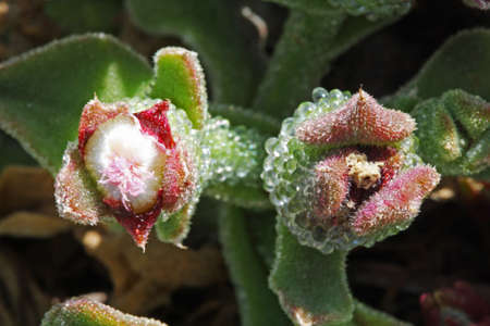 mesembryanthemum crystallinum: mesembryanthemum crystallinum, Gran Canaria, Spain