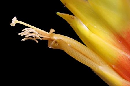 spermatophytina: bromeliad, Gran Canaria,Spain