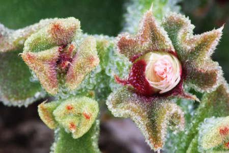 tracheophyta: mesembryanthemum crystallinum,Gran Canaria,Spain
