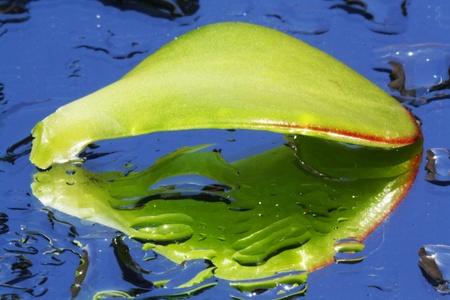 jade plant: money plant,Gran Canaria,Spain