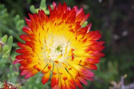 core eudicots: drosanthemum bicolor,Gran Canaria,Spain