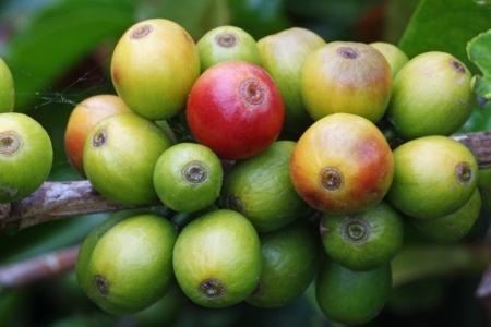 arabica: coffea arabica,Gran Canaria,Spain Stock Photo
