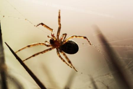 arthropoda: spider,Gran Canaria,Spain