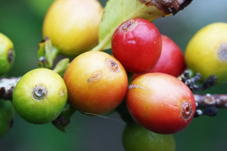 core eudicots: coffea arabica,Gran Canaria,Spain Stock Photo