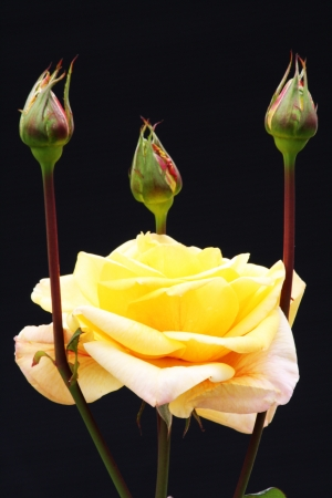 core eudicots: rose and rose bud,Gran Canaria,Spain Stock Photo