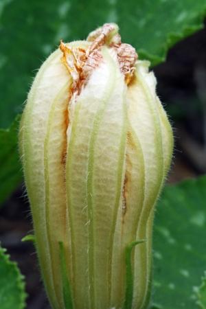 cucurbita: cucurbita moschata,Gran Canaria,Spain