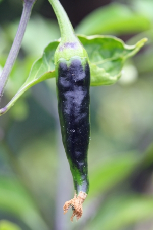 angiosperms: chili,Gran Canaria,Spain Stock Photo