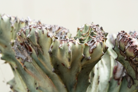 core eudicots: euphorbia lactea cristata,Gran Canaria,Spain