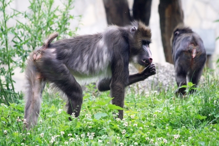 mandrill: mandrill,Gran Canaria,Spain Stock Photo