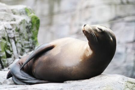 californian: californian sea lion,Gran Canaria,Spain