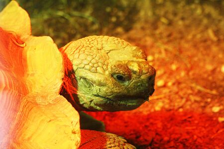 spurred: african spurred tortoise,Gran Canaria,Spain