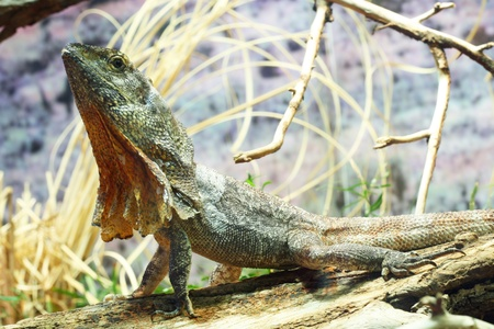frilled: frill-necked lizard,Gran Canaria,Spain