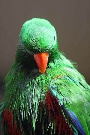 eclectus roratus: eclectus parrot,Gran Canaria,Spain