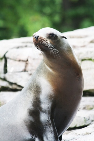 carnivora: californian sea lion,Gran Canaria,Spain