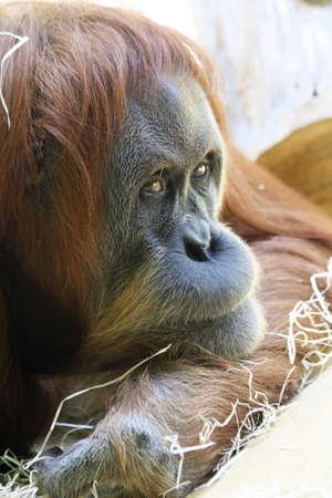 sumatran: sumatran orangutan,Gran Canaria,Spain Stock Photo