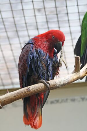 eclectus: eclectus parrot,Gran Canaria,Spain