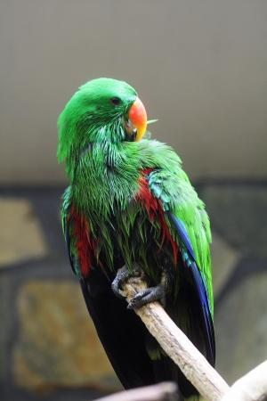 eclectus parrot: eclectus parrot,Gran Canaria,Spain