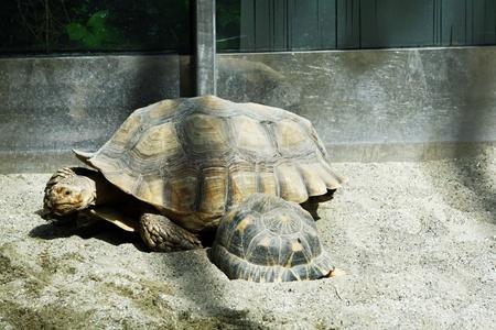 radiated: radiated tortoise african spurred tortoise,Gran Canaria,Spain