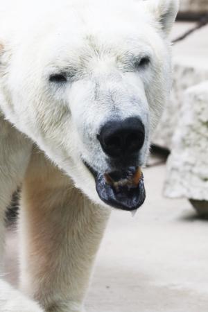 ursus: polar bear,Gran Canaria,Spain
