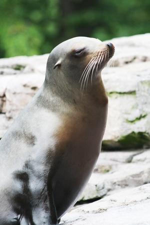 californian: californian sea lion,Gran Canaria,Spain