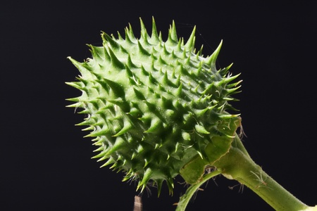 core eudicots: datura stramonium,Gran Canaria,Spain
