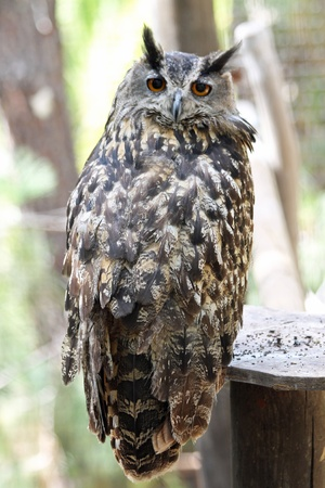strigiformes: eagle-owl,Gran Canaria,Spain
