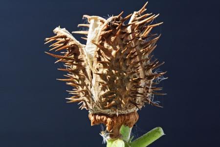tracheophyta: datura stramonium,Gran Canaria,Spain