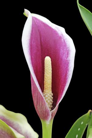 tracheophyta: calla zantedeschia ,Gran Canaria,Spain