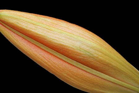 spermatophytina: lilium regale,Gran Canaria,Spain