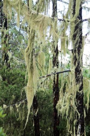 spermatophytina: canary island pine,Gran Canaria,Spain