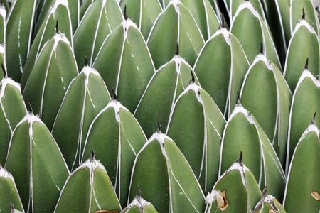 queen victoria agave,Gran Canaria,Spain photo
