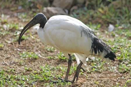 ciconiiformes: african sacred ibis,Gran Canaria,Spain Stock Photo
