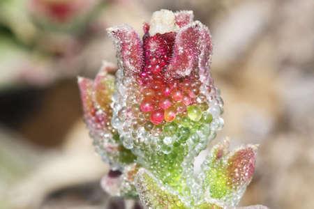 mesembryanthemum crystallinum: mesembryanthemum crystallinum,Gran Canaria,Spain