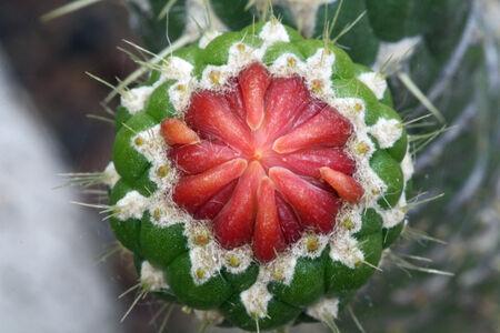 cylindrica: cactus austrocylindropuntia cylindrica,Gran Canaria,Spain