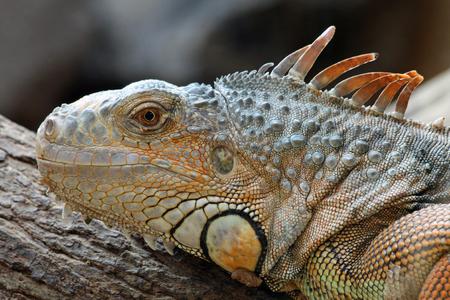 squamata: green iguana,Gran Canaria,Spain