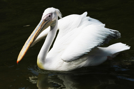 great white pelican,Gran Canaria,Spain photo